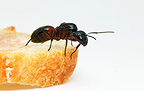 Carpenter ant on a slice of bread