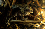 Common toads mating and toadspawn France