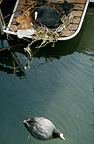 Eurasian Coots (Common Coot) nesting on a boat Lake Geneva Switzerland