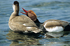 Couple of Red-crested Pochards Lake Geneva Switzerland