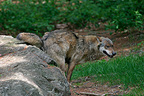 Eurasian Wolf  (Common Grey wolf) marking its territory Germany