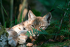 Eurasian Lynx lying down Portrait Germany