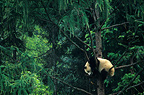 Giant Panda in a tree Wolong Nature Reserve Sichuan China