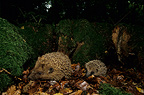 Western European Hedgehogs at night in a forest Picardie France