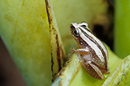 Tree frog on a banana tree leaf DR Congo