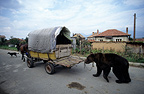 Brown bear tied to a gypsy bear tamer's caravan, Bulgaria
