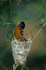 Female Madagascar Paradise-flycatcher feeding her chick, Madagascar