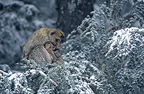 Male Barbary Macaque protecting young from the cold, Morocco