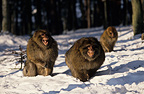 Aggressive male Barbary Macaque in winter France
