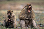 Female Barbary Macaque with male & young Morocco