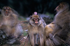 Male Barbary Macaque carrying his young amidst other males, Morocco