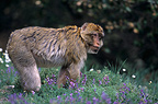 Barbary Macaque in spring Portrait Middle Atlas Morocco