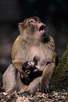 Male Barbary Macaque carrying his young in spring Morocco