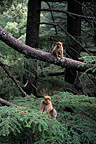 Juvenile Barbary Macaques in a tree in spring Morocco
