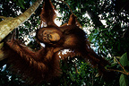 Young orangutan playing in the trees Kalimatan Indonesia