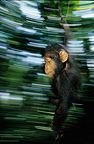 Young chimpanzee playing with a liana Bakoumba Gabon