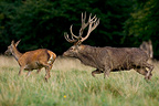 Red deer Stag chasing a doe during the rut Denmark