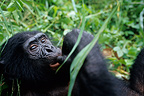 Orphan Bonobo female resting DR of Congo