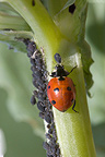 Seven-spot ladybird & aphids on a broad bean plant in bloom