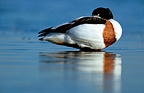 Male Common Shelduck resting with beak under wing France
