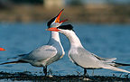 Couple of Caspian Terns on courtship Hérault France