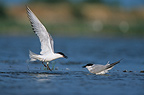 Gull-billed Terns face to face Hérault France