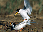 Little Terns mating Southern France
