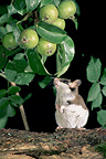 Garden Dormouse on hind legs smelling apples France