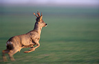 Roe Deer running France