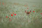 Roe Deer in a grain field Portrait Aube France