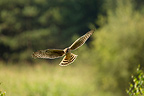 Hen Harrier hunting Aude France