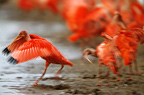 Scarlet Ibis taking flight Llanos Venezuela