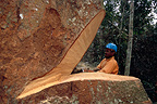 Cutting of a wenge tree with a chainsaw Cameroon
