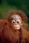 Young orangutan Portrait Indonesia