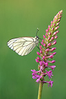 Black-veined White butterfly on a Fragrant Orchid, Doubs Valley, France