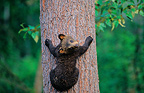 Young black Bear climbing on a tree Ontario Canada