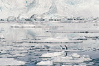 Pair of Gentoo Penguins on ice Antarctica