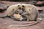 Hanuman Langur grooming a dog adopted within the clan, India