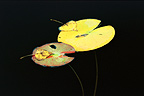 Composition of dead water lily and poplar leaves