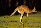 Male Eastern Grey Kangaroo jumping Warrumbungle Australia