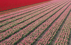 Field of tulips, Netherlands