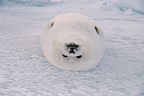 Harp seal lying on its back, Madeleine Islands, Canada