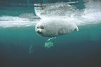 Young harp seal swimming underwater, Madeleine Islands, Canada