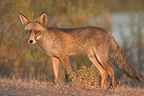 Red fox Monfrag�e NP Spain