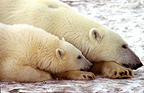 Female polar bear and young lying down to rest Canada