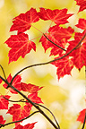 Red Maple leaves in autumn Saguenay Quebec