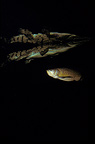 Freshwater crocodile & its reflection & barramundi Australia