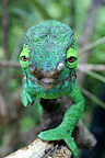 Parson's chameleon walking on a branch Madagascar