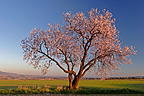 Almond tree in bloom Spain