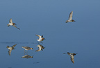 Migratory Curlew Sandpipers in early morning Camargue France